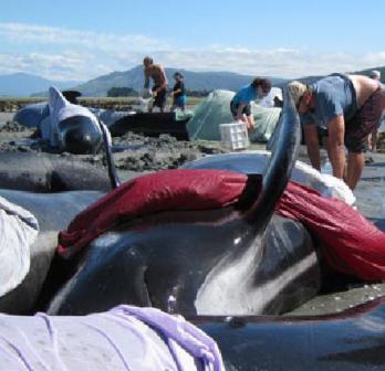 Новая Зеландия: 82 дельфина выбросились на берег