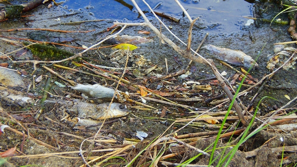 Саратов: массовая гибель рыбы от аномальной жары