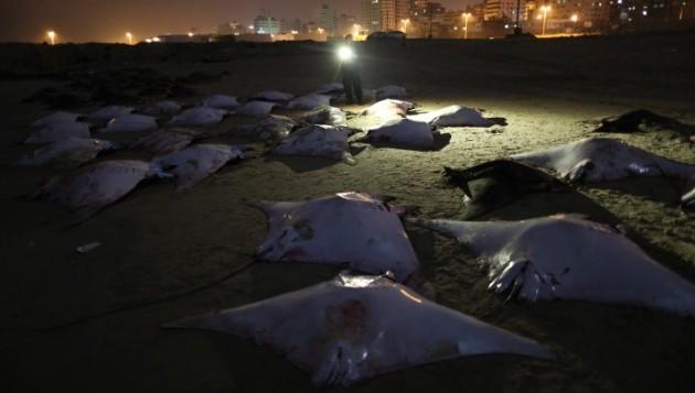 Израиль: массовая гибель гигантских морских дьяволов, рыбы выбросились на берег