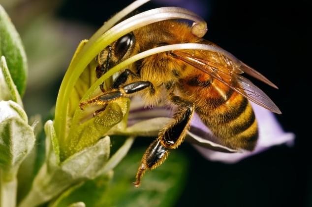 США: вымирание пчел