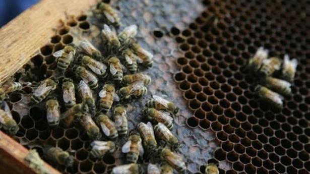 За эту зиму пчеловоды США потеряли больше половины пчел